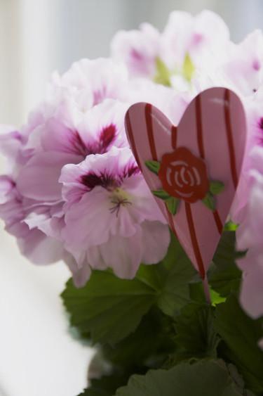 Engelsk pelargon med rosa hjärta.