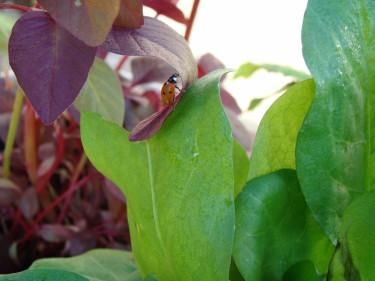 Nyckelpiga kanske på jakt efter löss. Men just den här plantan är fri och välmående!