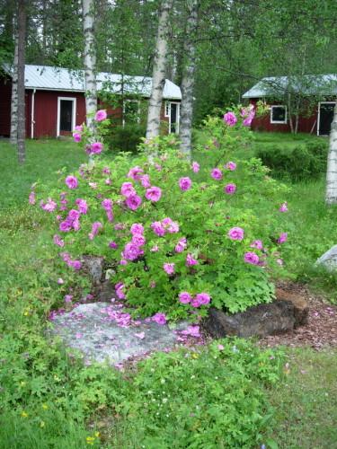 Örträskrosen blommar överdådigt och har en underbar doft! 4 juli 2010.