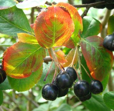 Svartaronia, _Aronia melanocarpa_, är en vacker buske med fantastiskt nyttiga bär. Foto: Katarina Kihlberg