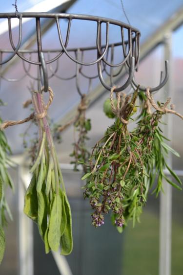 Salvia och timjan är kryddväxter som fungerar bra att torka.   Foto: Blomsterfrämjandet