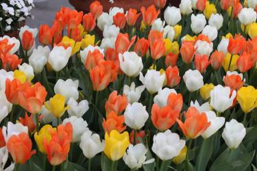 Det färgsprakande paketet Inspirations 'Orange, White & Yellow' ger en friskt härlig rabatt, eller varför inte plantera ut tulpanerna som små öar i gräsmattan? Foto: [Odla.nuShop](http://erbjudande.odla.nu/hl/?p=1)