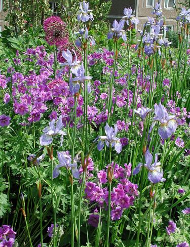 _Iris sibirica_ 'Perry's Blue' och _Geranium x magnificum_ 'Rosemore' flankerar bollöken. Foto: Sylvia Svensson