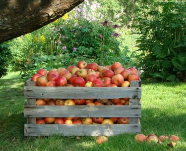 En äppelskörd i norr säkras bäst genom att odla tidiga sorter som hinner utvecklas klart! Foto: Katarina Kihlberg