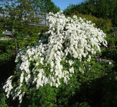 Den fantastiska **pärlbusken**, _Exochorda racemosa_ 'The bride',