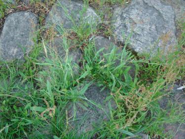 Blandad kompott av ogräs som döljer den vackra stenläggningen.