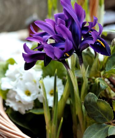 Fördrivna lökväxter doftar vår! Här _Iris reticulata_ 'George' och vårprimula.