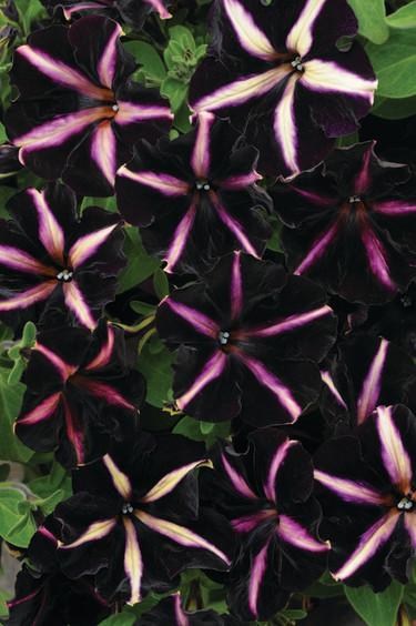 Nya, läckra petuniasorten 'Merlin'. Foto: Blomsterfrämjandet/Hörnhems