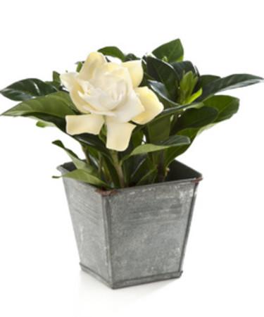 Gardenia.