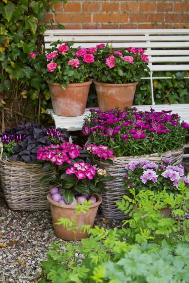 En cerise färgklick livar upp sensommarträdgården. Foto: Floradania