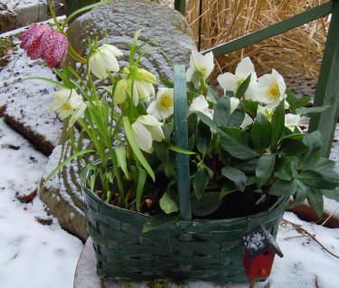 Fick du en julros i julklapp? Spara den och plantera ut! Foto: Sylvia Svensson