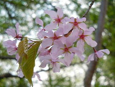 _Prunus nipponica_ i full blom.