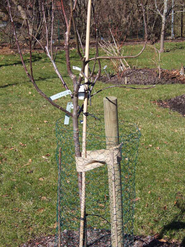 Hönsnätring skyddar det unga fruktträdet. Foto: Sylvia Svensson