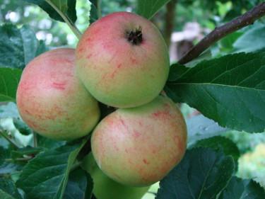 När äppelkarten sitter tätt som i en druvklase behöver trädet hjälp med gallring.  Foto: Katarina Kihlberg