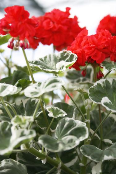 Brokbladig pelargon 'Wilhelm-Langurth'. Foto: Blomsterfrämjandet.