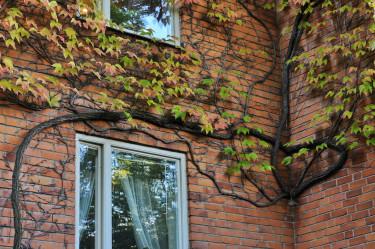 Rådhusvin, _Parthenocissus tricuspidata_, bildar med tiden grova stockar. Här har koltrasten utnyttjat den för att bygga ett bo i hörnet. Foto: Lars Forslin