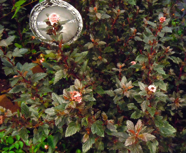 Splendor: _Physocarpus_ 'Little Devil'. Foto: Sylvia Svensson