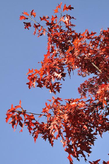 Scharlakansek, Quercus coccinea 'Splendens' Foto: Sylvia Svensson