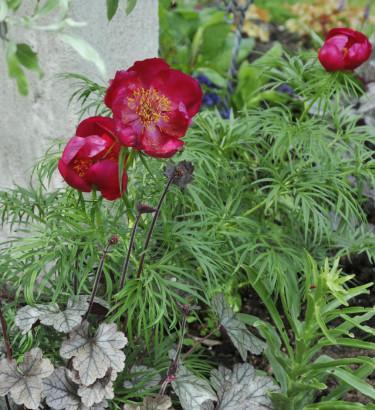 Herrgårdspion, Paeonia x hybrida Foto: Bernt Svensson