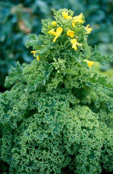 Precis som övriga kålsläktingar blommar grönkål med gula blommor.