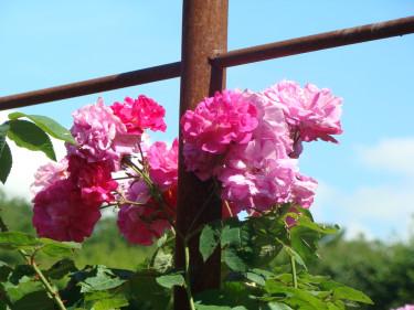 Pigga rosor i utvilad jord!