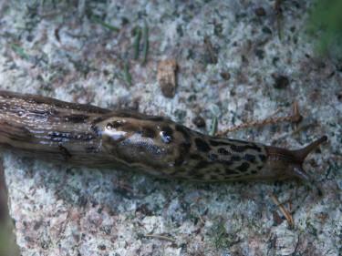 Den vackra, randiga pantersnigeln, _Limax maximus_, är 12-20 cm lång och gör inte heller någon skada.  Foto: Sylvia Svensson