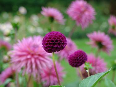 Om du planterar sommarblommande knölar och lökar fylls din trädgård av färg på ett kick.