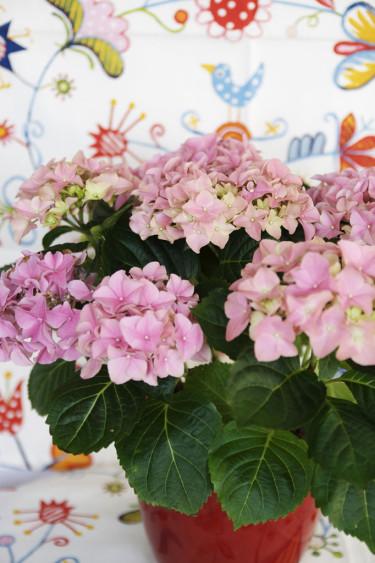 Hortensia, _Hydrangea macrophylla_. Foto: Blomsterfrämjandet-