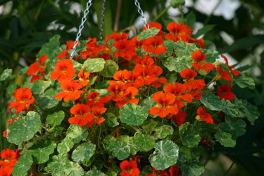 _Nasturtium majus_ 'Orange Trojka'. Foto: T&M