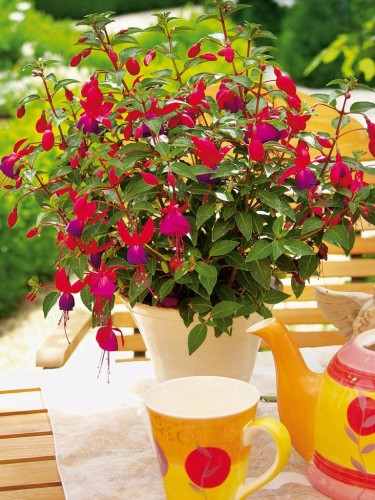 Fuchsia i gult sällskap. Foto: Blomsterfrämjandet/Hörnhems.