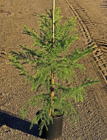 Cypressläktingen kryptomeria, _Cryptomeria japonica_ fk Göteborg, kallas även japansk ceder. Foto: Bo Andersen, Splendor Plant