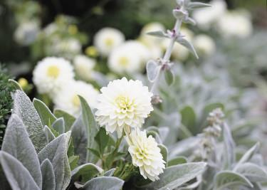 Dahlia och lammöron.  Foto: Blomsterfrämjandet