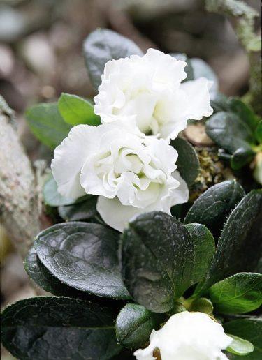 _Rhododendron Simsii_-Gruppen 'Witte Vogel', azalea.