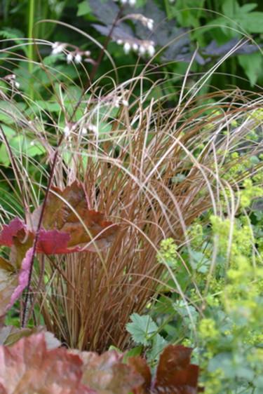 Kopparstarr, _Carex buchananii_, i perennrabatten.  Foto: Blomsterfrämjandet