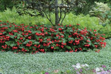 Begonia 'Dragon Wing' Red