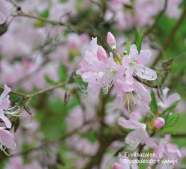 Fjärilsazalea, _Rhododendron vasseyi_, ingår i Mästarrabatten 2013. Foto: Mästarrabatten