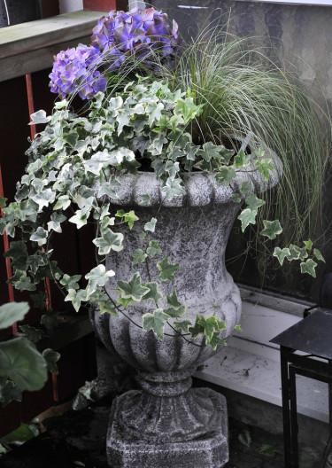 Murgröna, silvrig form av bronsstarr, 'Silver Curls' och hortensia. Foto: Bernt Svensson, arr: Sylvia Svensson