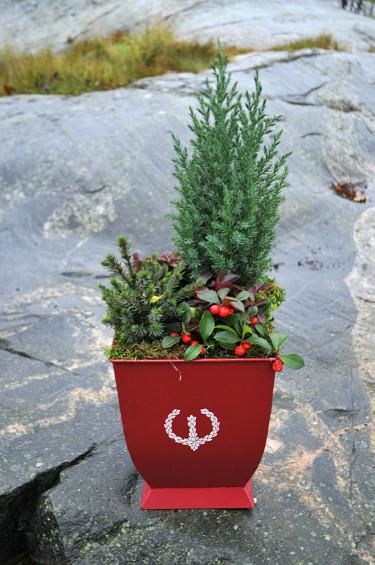 Cypress 'Elwoodii', minigran och vaktelbär i en plåtkruka Foto: Bernt Svensson