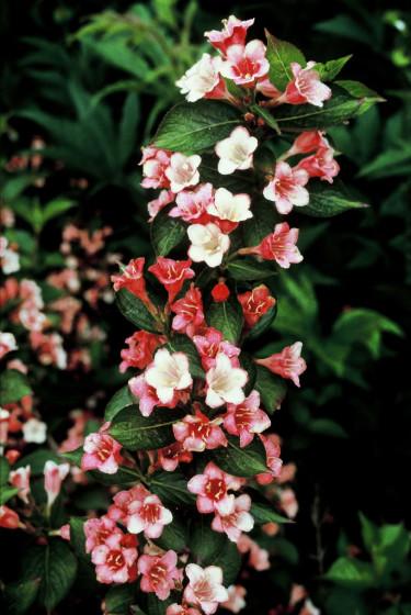 Blommor i olika färger på samma buske är inte helt ovanligt, som vackra 'Courtalor'. Foto: PPH