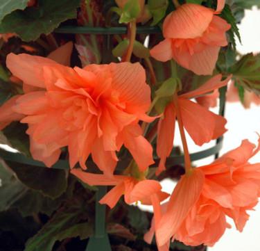 Dags att tänka på övervintring av begonia, här _Begonia x tuberhybrida_ Pendula, 'Gubben och Gumman. Foto: Blomsterfrämjandet/MästerGrön