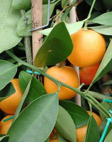 _Citrus x microcarpa_, kalamondin.