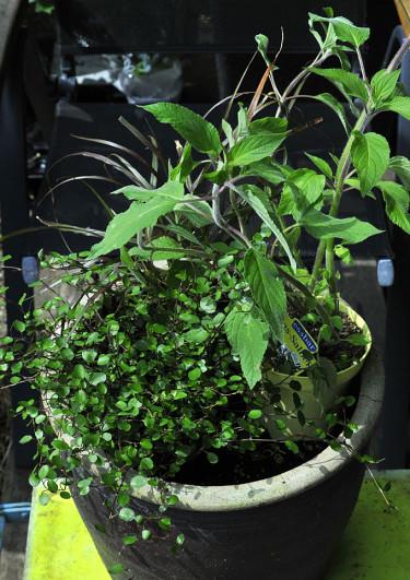 Arrangera växterna i krukan och flytta runt tills du är nöjd. Foto: Bernt Svensson