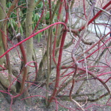 Äldre grenar på korallkornellen blir gärna bruna. Håll efter med beskärning för att få röda fina grenar.