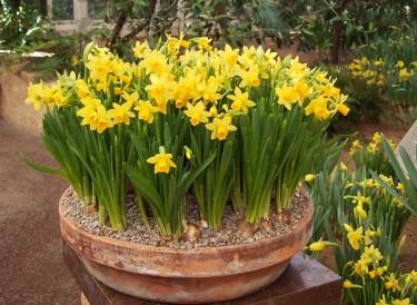_Narcissus_ 'Tete-a-Tete', vacker ensamt i stora sjok! Foto: Sylvia Svensson