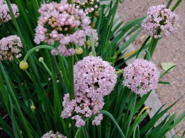 Blommor hos _Allium nutans_, sibirisk kantlök. Foto: Sylvia Svensson