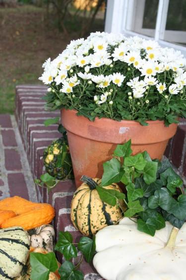 Bollkrysantemum. Foto: Blomsterfrämjandet/IBC.