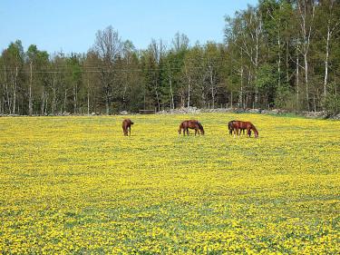 Ett sådant här maskrosfält kan innehålla många olika småarter av _Taraxacum_. Foto: Sylvia Svensson