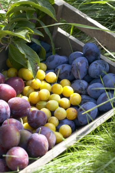 Plommon finns i många storlekar, mognadstider, färger och former. Här fr.v: halvsviskon, mirabeller och sviskon. Foto: PPH