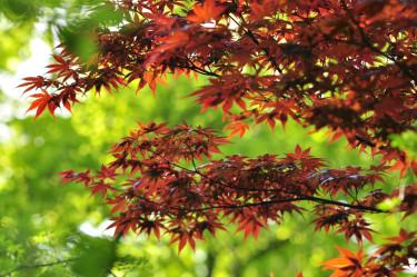 Rödbladig upprättväxande sort med normalt flikade blad. Foto: Lars Forslin