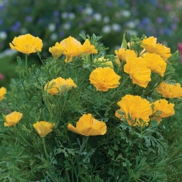 Kalifornisk vallmo, Platystemon californicus 'XL Yellow'